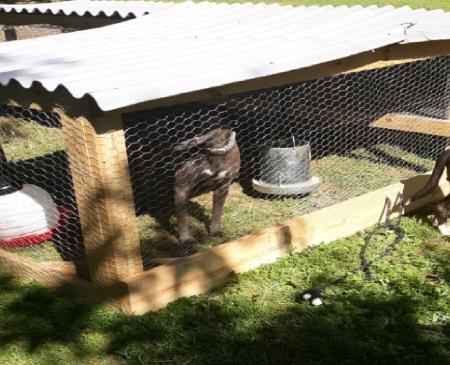 dog in henhouse